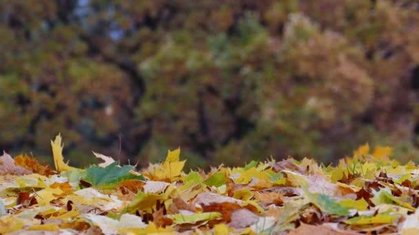 Barevné javorové listí padá na zem