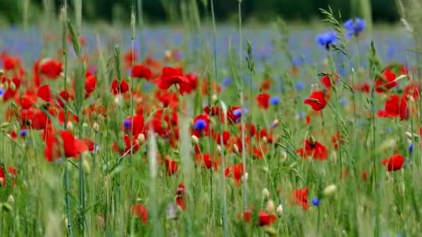 červené květy máku v zeleném poli