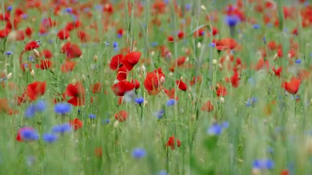 Red poppy flowers in green field