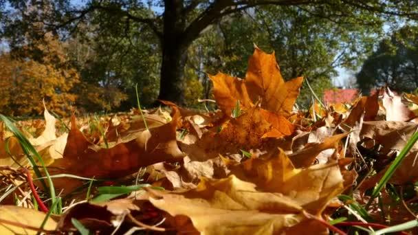 Barevné podzimní javorové listy na zem
