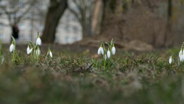 White snowdrop flowers in the park