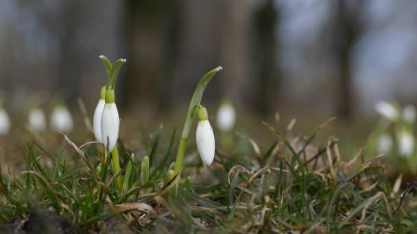 Bílé sněhové květy v parku