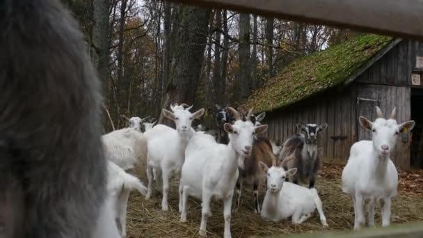 Stádo koz vedle staré stodoly