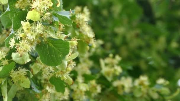 Linde blüht mit grünen Blättern
