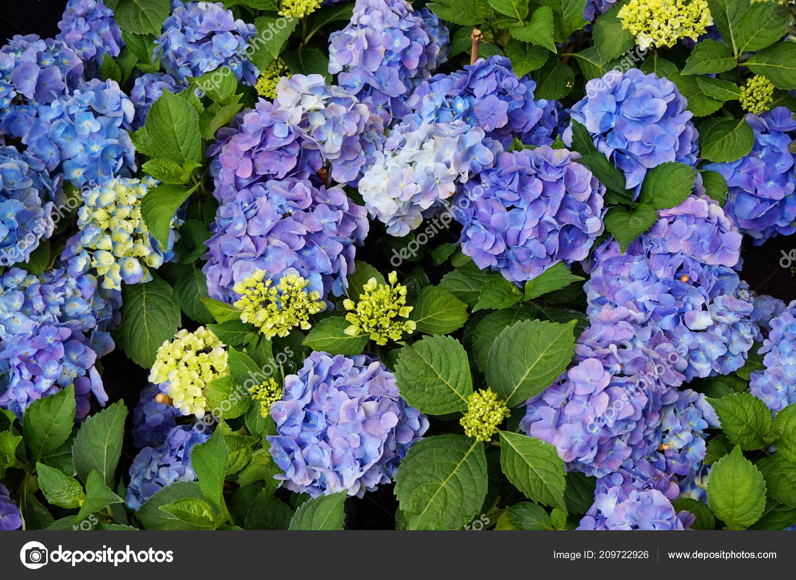 Hortensia Flower Texture Very Nice Color Background Stock Photo - Color-hortensia