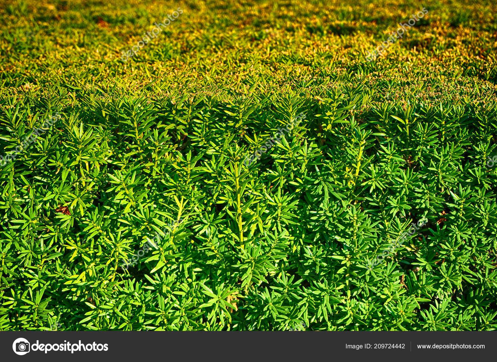 Texture Siepe Verde Come Sfondo Naturale Bello Foto Stock
