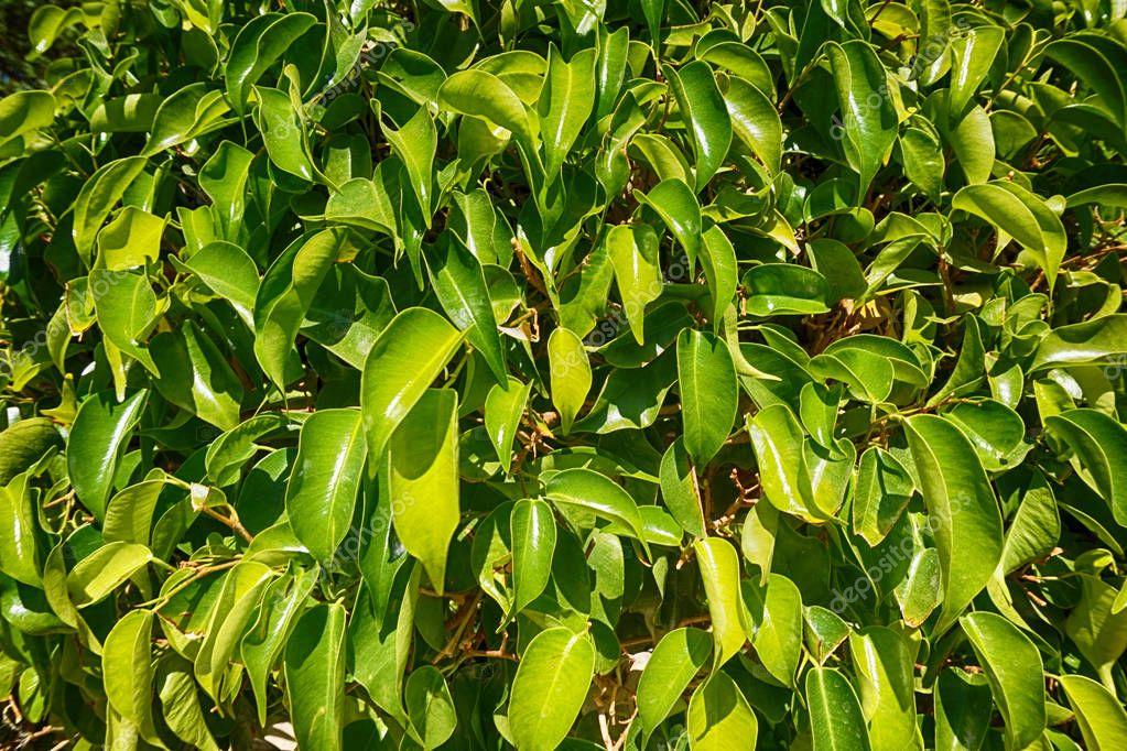 ficus benjamina plant leaves texture