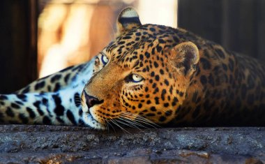 Portrait of a beautiful leopard