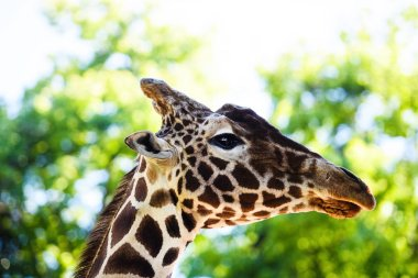 portrait of a giraffe on a spring background