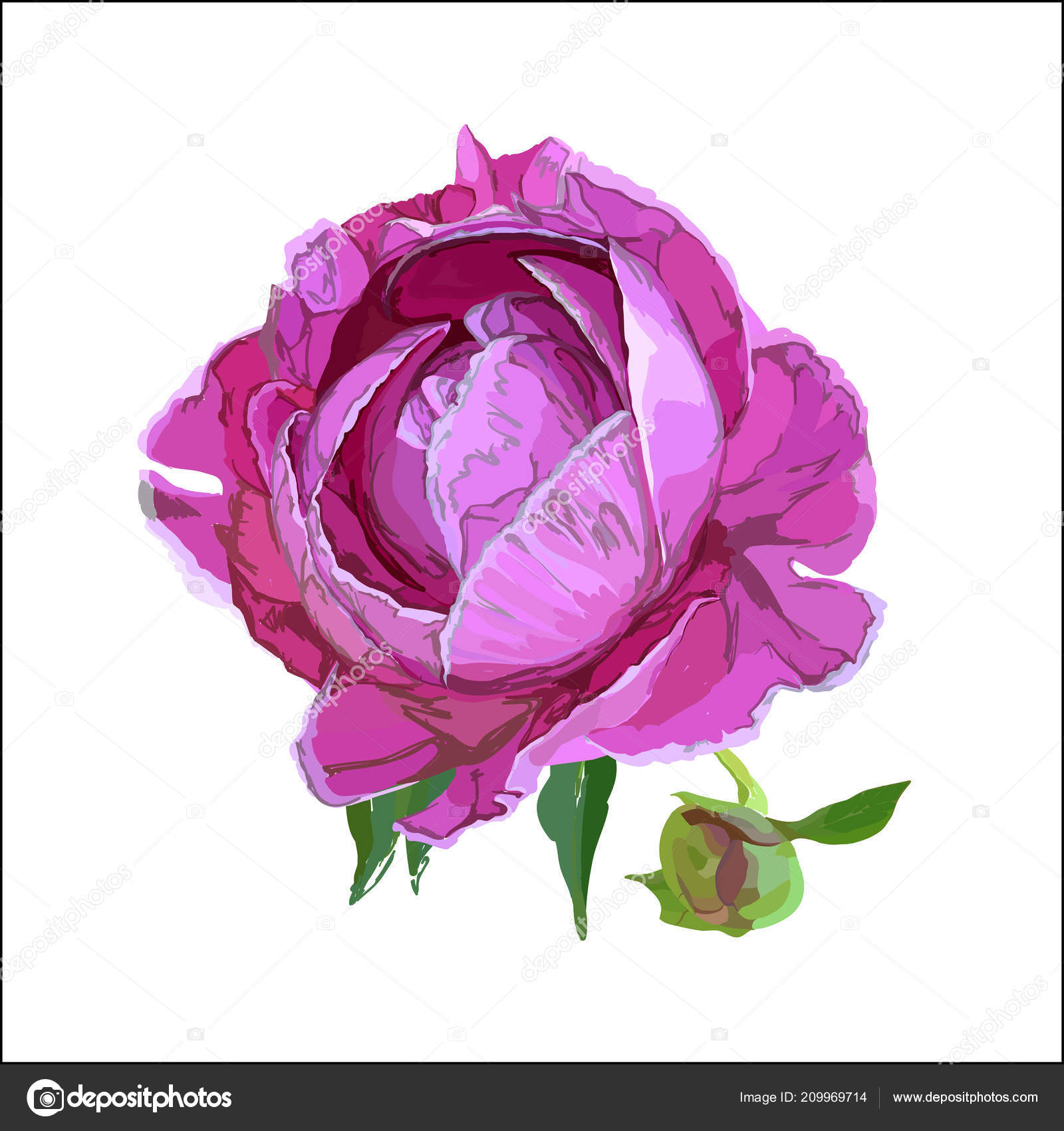 Dessin Pittoresque Une Fleur Une Pivoine Rose Image Vectorielle