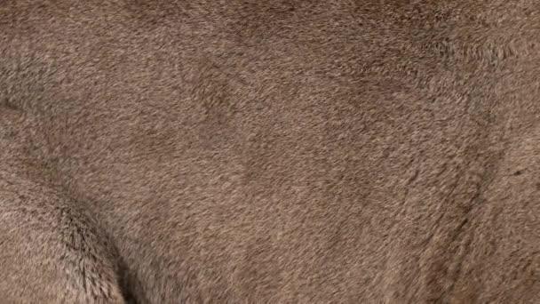 Puma pravou kožešinu foukání větru. Zavřete makro vystřelí ze zvířecích chlupů v pomalém pohybu