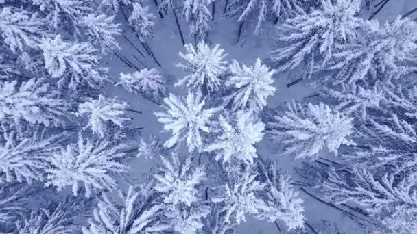 Flug über die Spitze der schneebedeckten jungen Kiefern in schönen blauen Winterwald ohne Menschen Luftbildaufnahmen in 4k auf UHD-Kamera