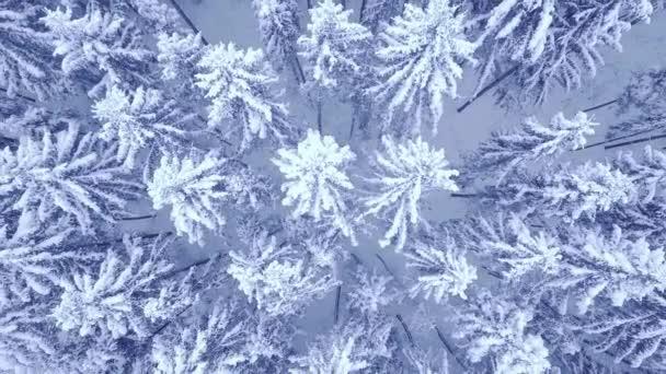 Antenne nach oben Kamera-Zoom-Video von schönen blauen Winter Kiefer schneebedeckten Wald in 4k