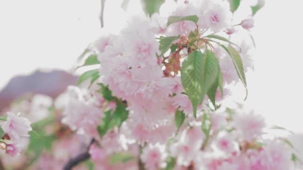 Blooming pink Japanese Sakura branch