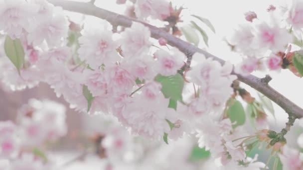Kvetoucí růžová japonská Sakura větev