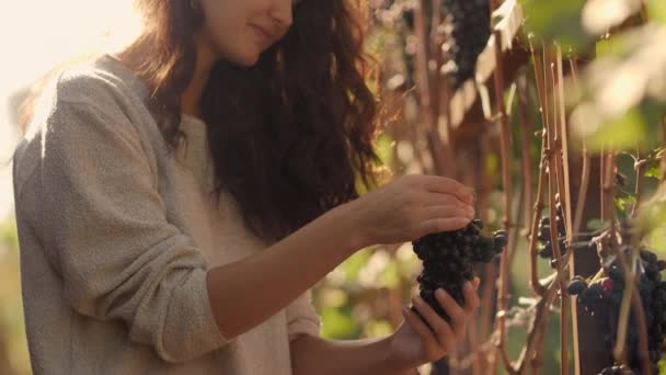 Mladá žena sběr hroznů na vinici během sklizně révy na slunečný, krásný podzimní den