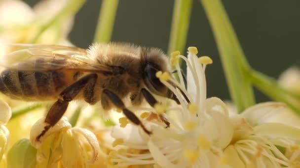 Květ stromě včelí