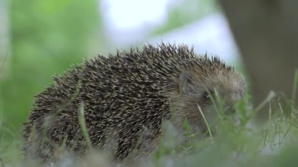 Wild Tiny Hedgehog in Nature