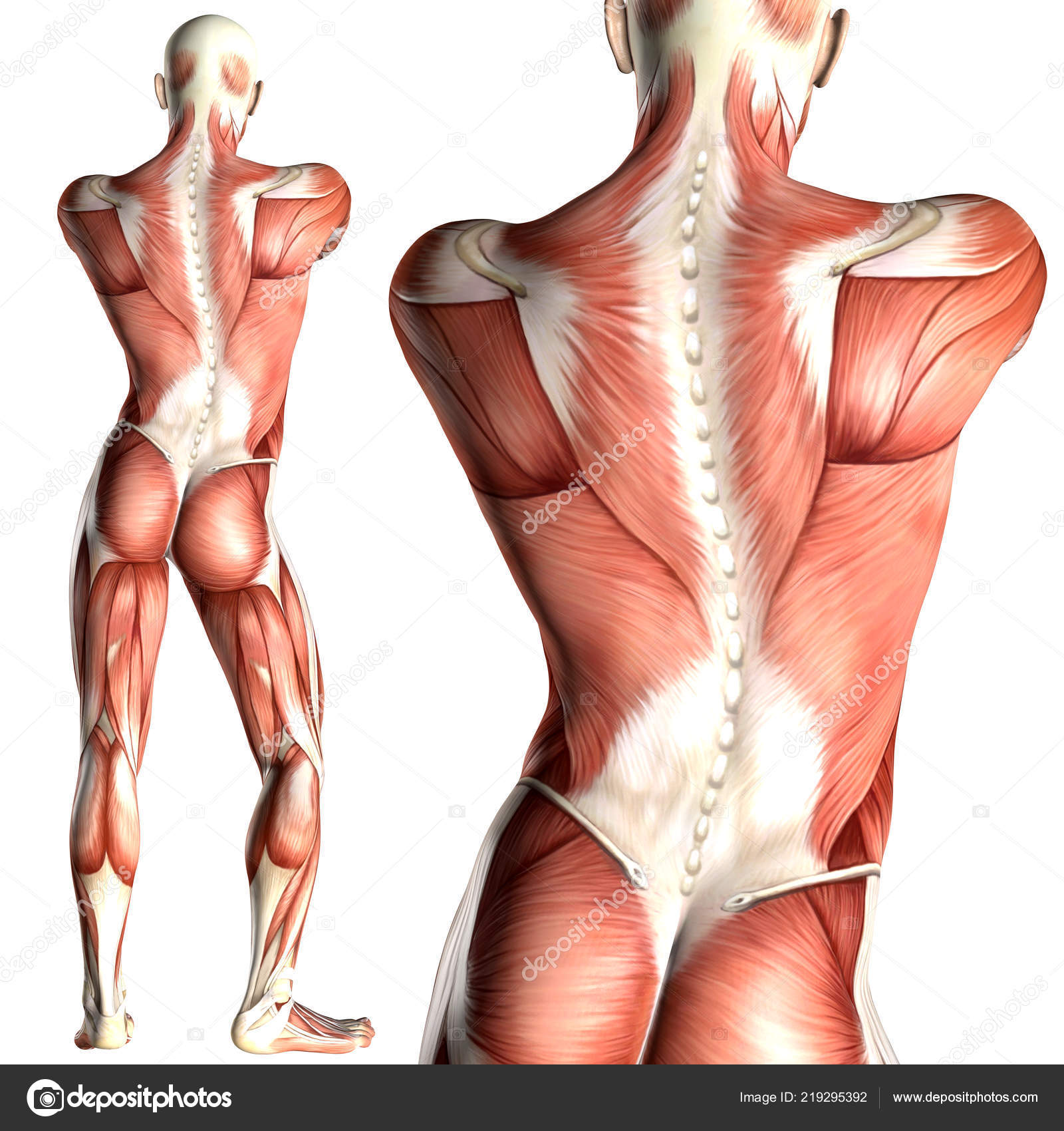 Illustration Male Anatomy Back View Muscle Map Stock Photo