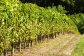 vineyard in Jurancon, France