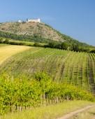 Fotografie vinice, hrad Devicky, Palava, Jihomoravský kraj, ČR