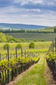 vinice, Palava, Jihomoravský kraj, Česká republika