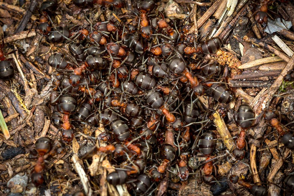 ants on an anthill in the forest