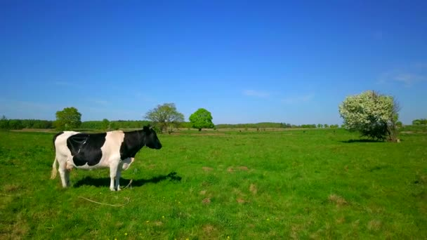 One cow grazes on a meadow