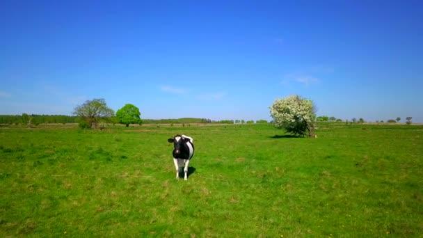 Jedna kráva oděrek na louce