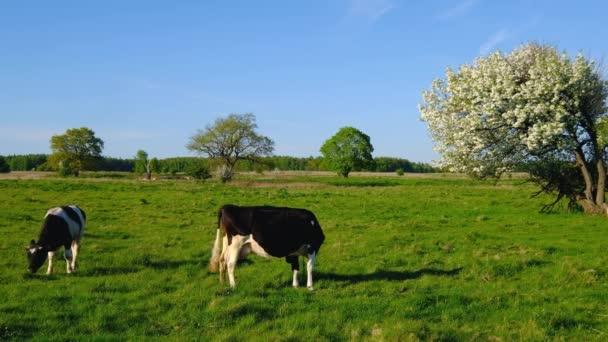 Krávy se pasou na louce v letní čas