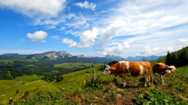 Pequeño rebaño de vacas pastan en el prado alpino en Suiza