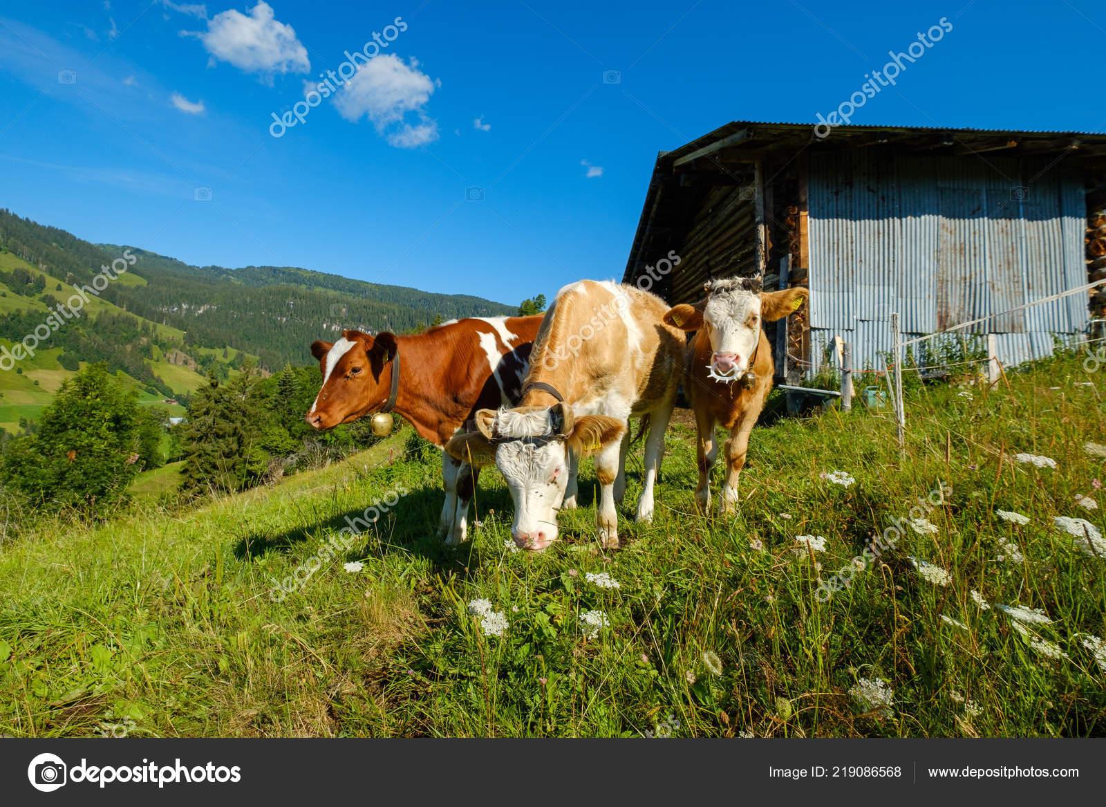 Pequeño rebaño de vacas pastan en el prado alpino — Foto de