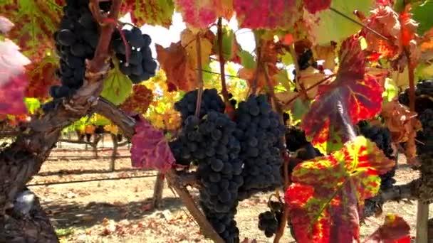 Zralé červené hrozny na vinice