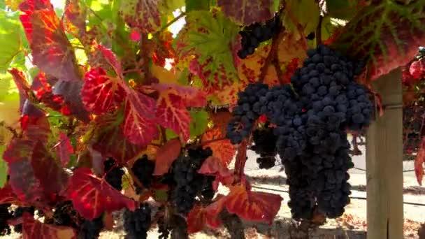 Ripe red grapes at wineyard