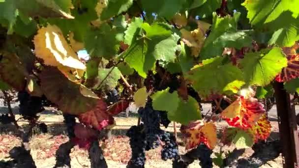 Ripe red grapes at wineyard closeup