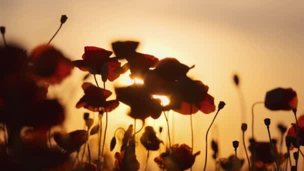 Kvetoucí červené máky na letní louce houpačce