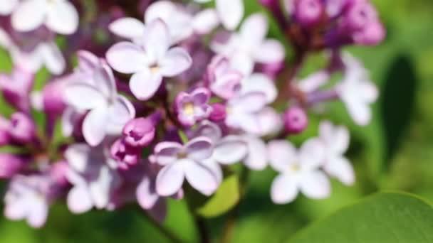 Nádherné makro video z fialové lila květina, kvetoucí.