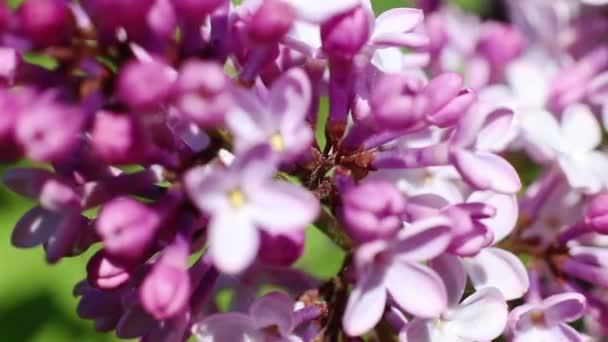 Gyönyörű makró video-ból egy lila lila virág virágzó.
