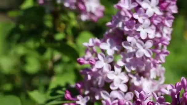 Beautiful macro video of a purple lilac flower blooming.