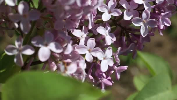 Beautiful macro video of a purple lilac flower blooming.