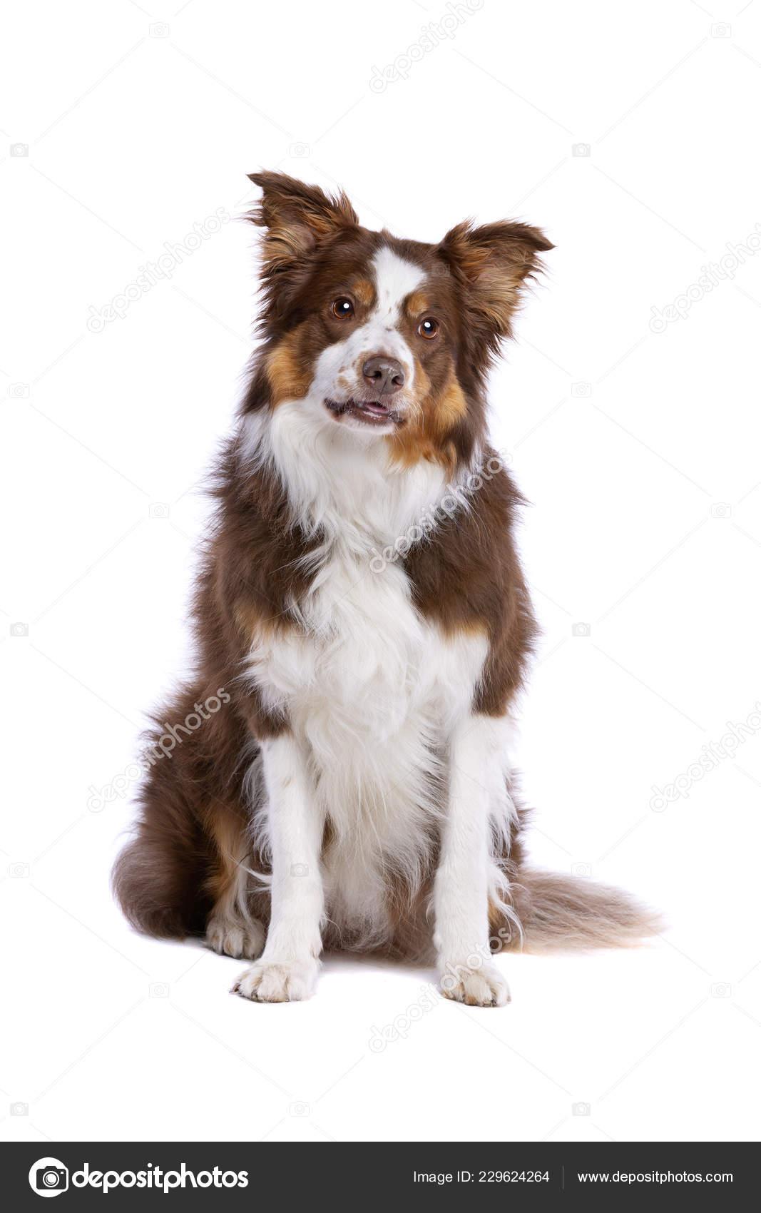 Tri Colour Border Collie Sitting Front White Background Stock Photo C Eriklam 229624264
