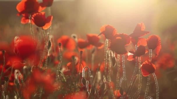 Kvetoucí maková pole při západu slunce.