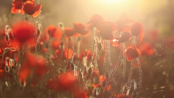 Blooming red poppy fields in sunset lights.