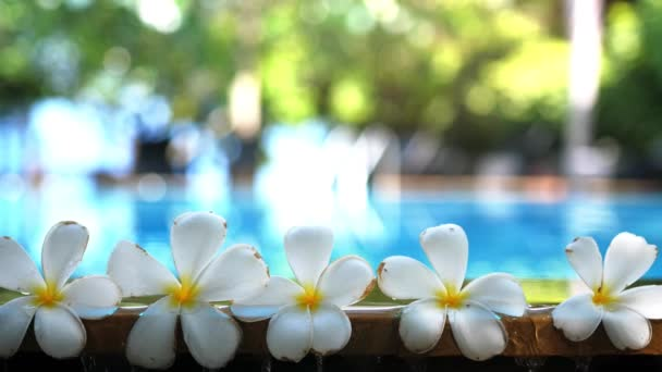 Fresh white frangipani plumeria tropical exotic flowers over blurred swimming pool water and tree of frangipani. Concept of a summer paradise vacation and aroma relaxation. slow motion. 3840x2160