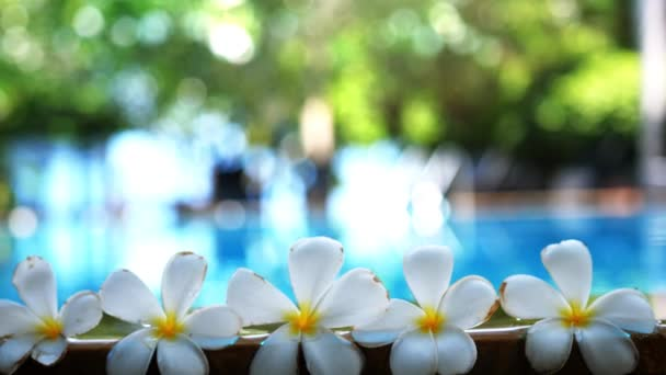 Fresh white frangipani plumeria tropical exotic flowers over blurred swimming pool water and tree of frangipani. slow motion. 3840x2160