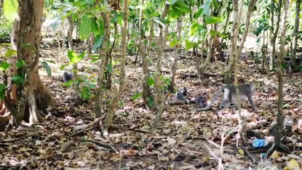 Majom család Szent monkey forest. Ubud, Bali, Indonézia. lassú mozgás. 3840 x 2160