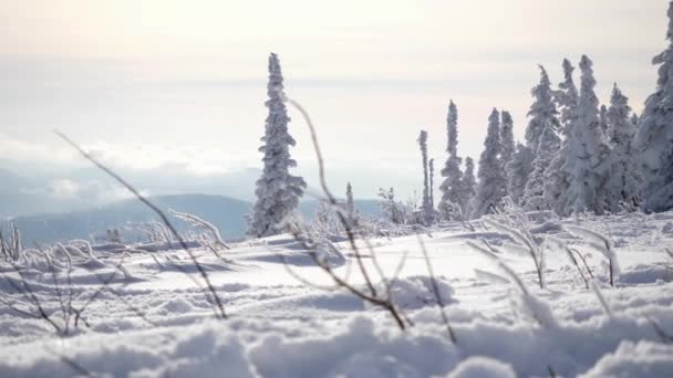 Amazing winter landscape with high spruces and snow in mountains. slow motion. 3840x2160