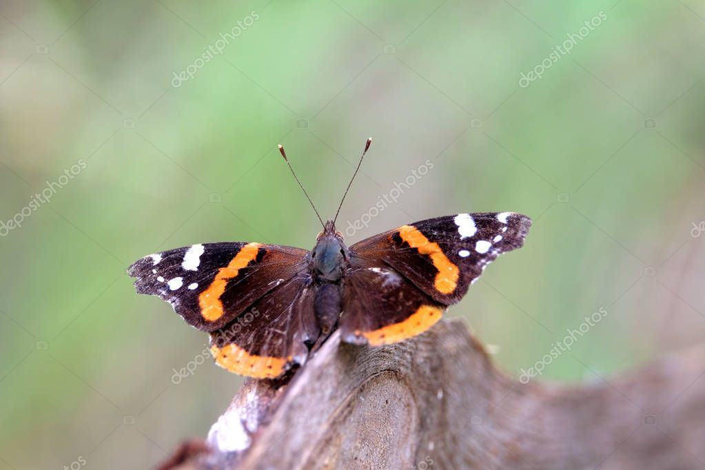 Vanessa atalanta. Red Admiral Butterfly is sitting on the branch above blur green background on summer day closeup