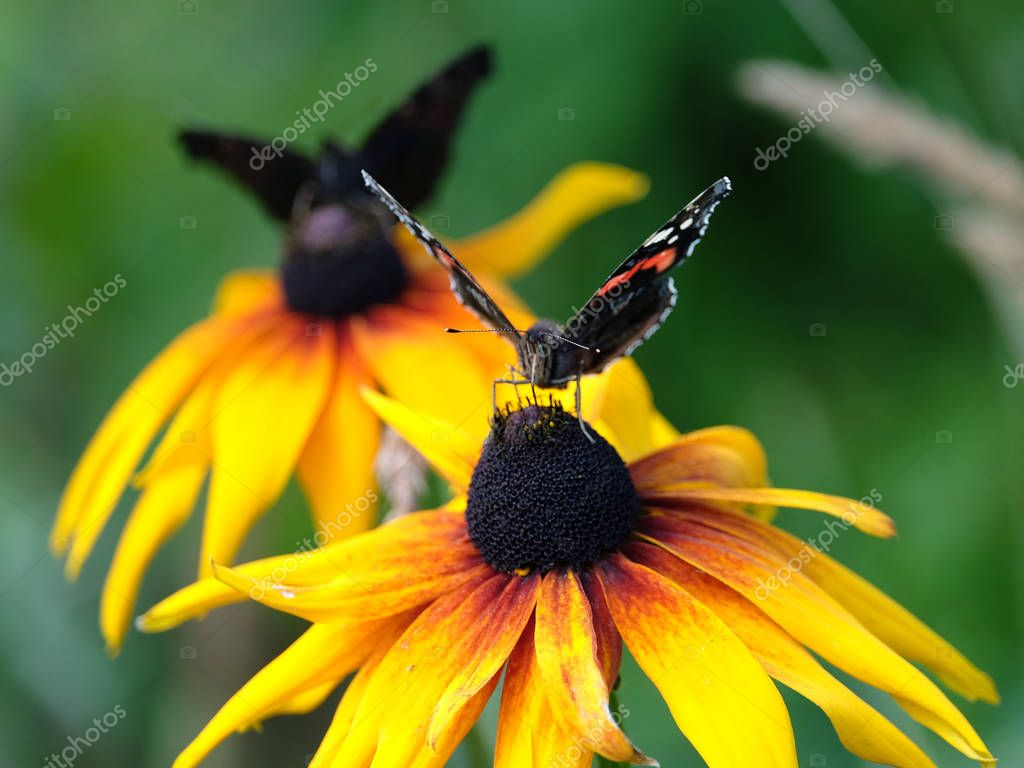 Two Vanessa atalanta. Red Admiral Butterflies sitting on yellow flowers above blur green background on summer day closeup