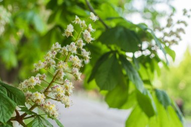 Blooming chestnut flowers on a green tree. Spring background.
